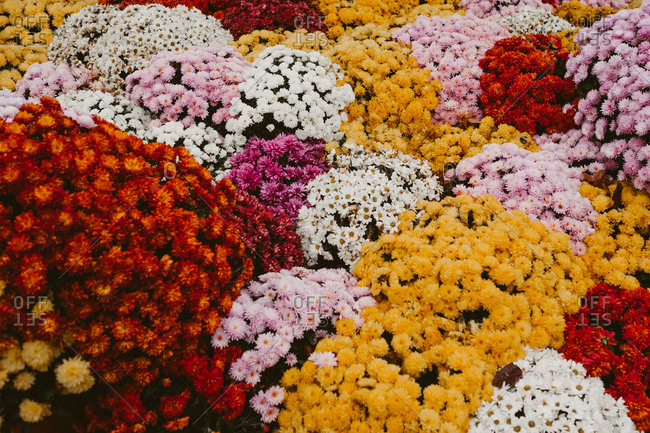 Carpet of carnation flowers