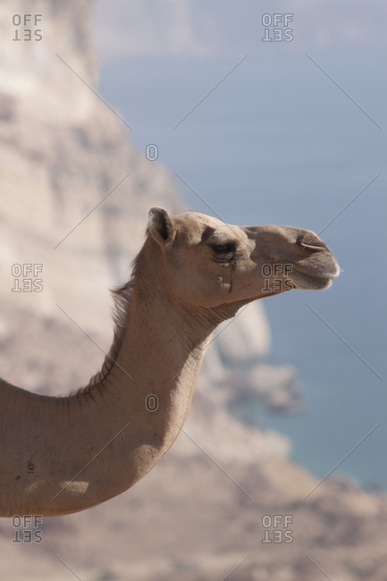 Camel in the desert of Dhofar, Oman