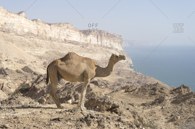 Camel in the desert overlooking the Arabian Sea, Dhofar, Oman