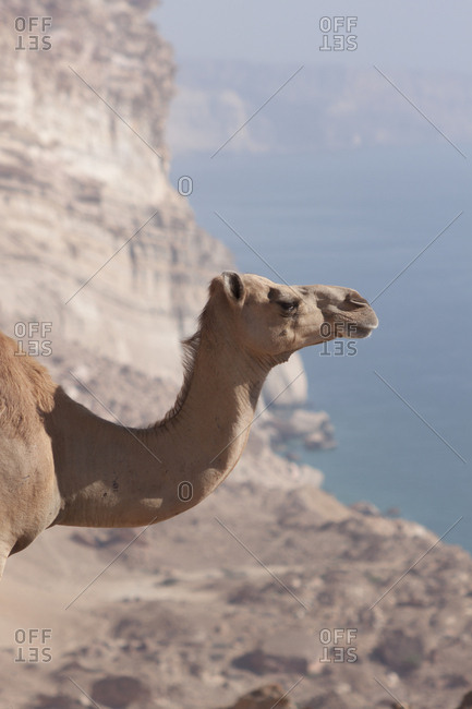 Camel in the desert in Dhofar, Oman