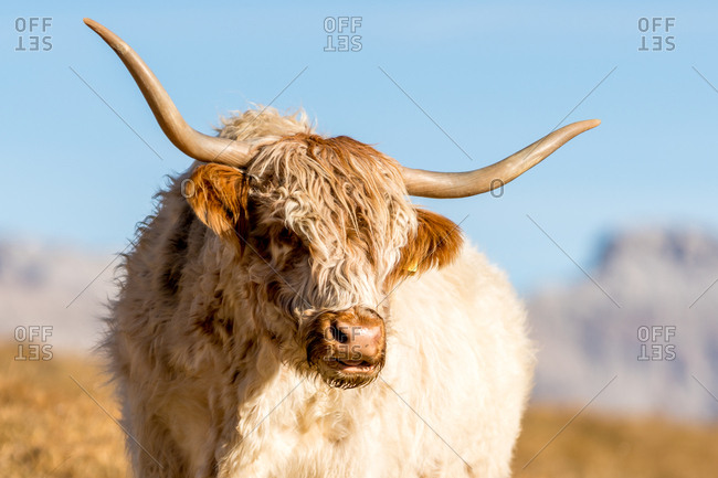 Italy, South Tyrol - October 31, 2017. A Grazing long-haired cow with horn in a valley at Alpe di Siusi.
