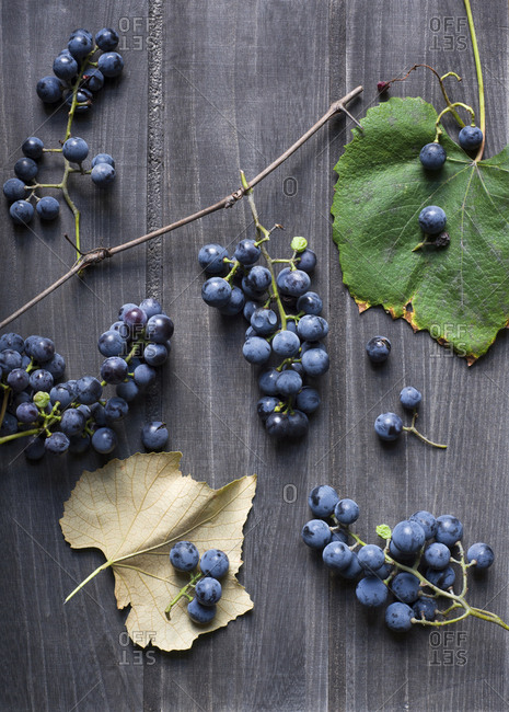 Freshly harvested concord grapes.