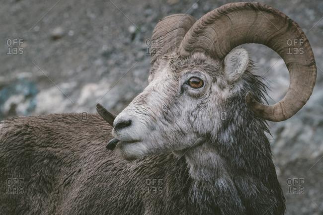 Close up of curious ram