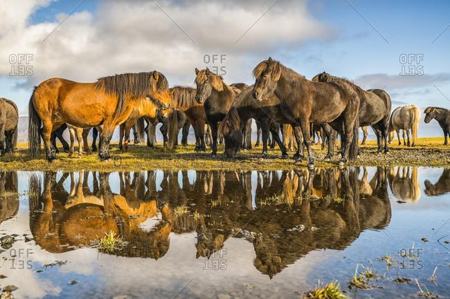 Icelandic Horses; Iceland