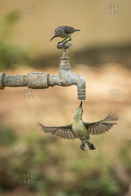 Female Purple Sunbirds (Cinnyris Asiaticus) On And Under A Dripping Tap; Chandrapur, Maharashtra, India