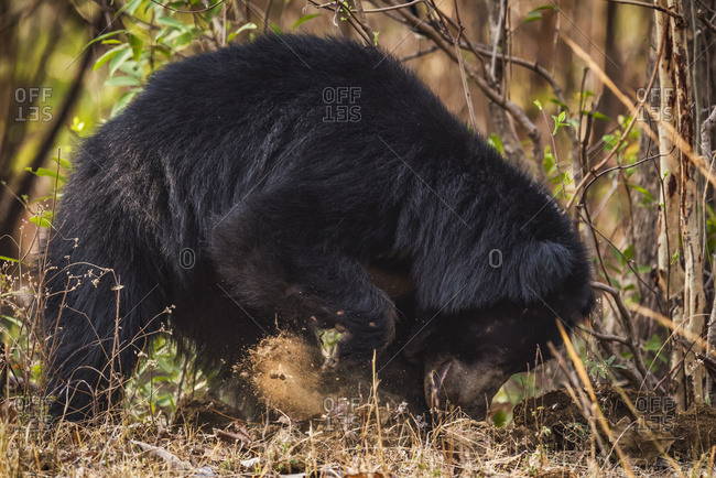 Sloth Bear (Melursus Ursinus) Digging For Termites In Bushes; Chandrapur, Maharashtra, India