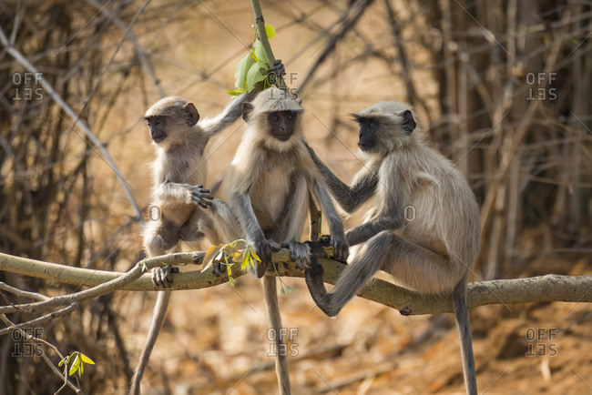 Three Hanuman Langurs (Semnopithecus Entellus) Sitting On A Tree Branch; Chandrapur, Maharashtra, India