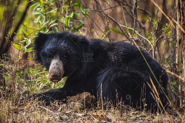 Sloth Bear (Melursus Ursinus) Lying In The Bushes And Turns It's Head To Make Eye Contact; Chandrapur, Maharashtra, India
