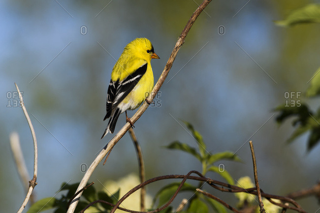 A Male American Goldfinch (Spinus Tristis) Perches In A Bush; Astoria, Oregon, United States Of America