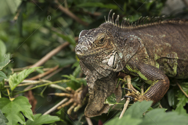 Close-Up Of An Iguana Crawling Through The Plants At Victoria Butterfly Gardens; Victoria, British Columbia, Canada