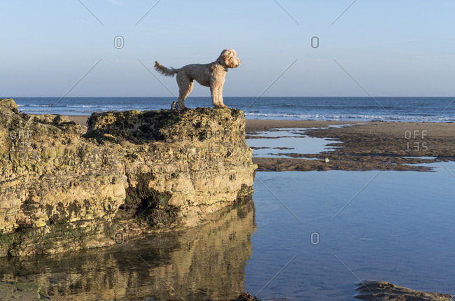 A Dog Stands On A Rocky Ledge Looking Out To The Water And Horizon With Blue Sky; Sunderland, Tyne And Wear, England
