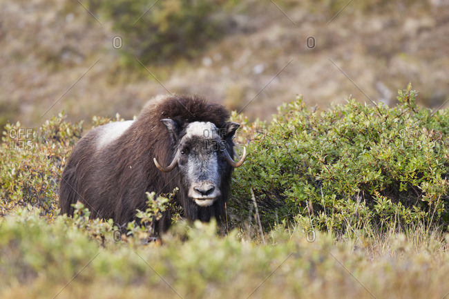 Muskox (Ovibos Moschatus) Standing Amongst Shrubs; Alaska, United States Of America