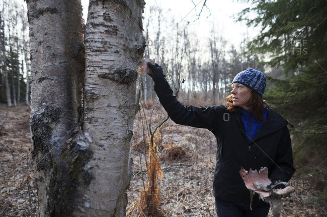A Woman Peels Bark Off A Birch Tree In A Forest, Kenai Peninsula; Alaska, United States Of America