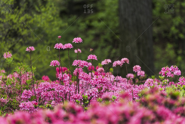 Azaleas And Rhododendron (Ericaceae), New York Botanical Garden; Bronx, New York, United States Of America