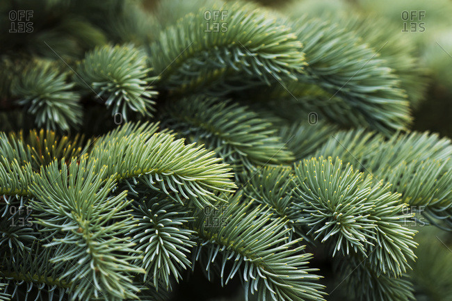 Close-Up Of Norway Spruce (Picea Abies) Needles, A Popular Choice With Landscapers In The Pacific Northwest; Astoria, Oregon, United States Of America