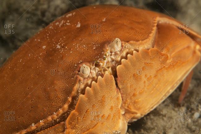 Smooth Box Crab (Calappa Calappa); Moalboal, Cebu, Central Visayas, Philippines