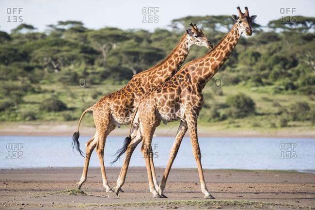 Giraffes Walking; Tanzania