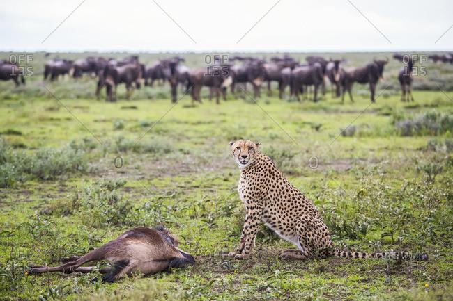 Cheetah (Acinonyx Jubatus) With It's Wildebeest Kill After A Hunt, Serengeti; Tanzania