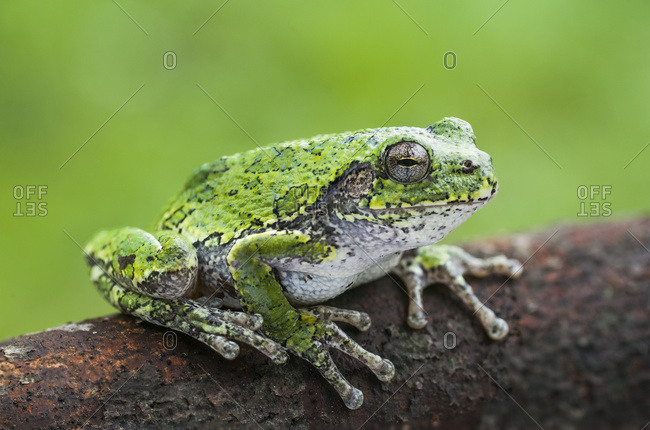 Common Gray Tree frog (Hyla versicolor) sitting on a log; Ontario, Canada