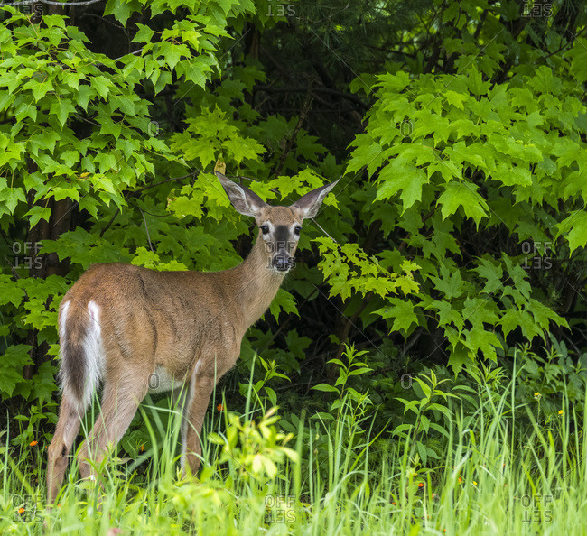 A doe (cervidae) standing in the tall grass at the edge of a forest looking back over it's shoulder; Redbridge, Ontario, Canada