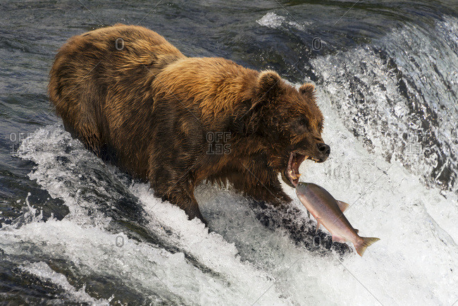 A Brown Bear (ursus arctos) about to catch a salmon in it's mouth at the top of Brooks Falls, Alaska. The fish is only a few inches away from its gaping jaws. Shot with a Nikon D800 in July 2015; Alaska, United States of America