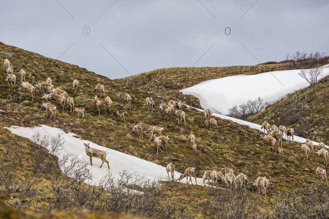 A herd of caribou (Rangifer tarandus), cows and young calves, climb a hill near Stony Dome in Denali National Park in early summer; Alaska, United States of America