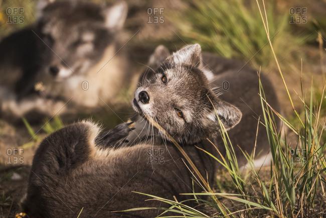 Arctic fox (vulpes lagopus), summer phase, captive; Yukon Territory, Canada