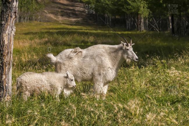 Mountain Goat (oreamnos americanus) with kid, captive; Yukon Territory, Canada