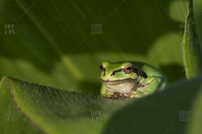 A tree frog guards a garden while resting on a plant in the Pacific Northwest