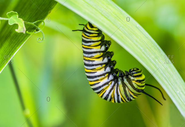 Monarch caterpillar (Danaus plexippus) hanging from green foliage, pre-chrysalis stage; Ontario, Canada