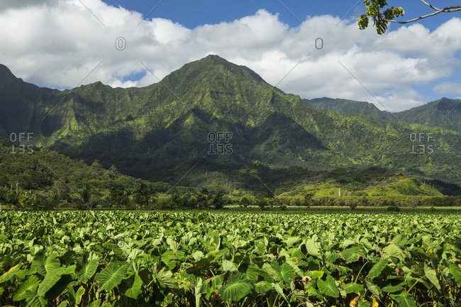 Taro patches, Hanalei National Wildlife Refuge, Hanalei Valley; Hanalei, Kauai, Hawaii, United States of America