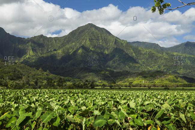 Taro patches, Hanalei National Wildlife Refuge, Hanalei Valley; Hanalei, Kauai, Hawaii, United States of America