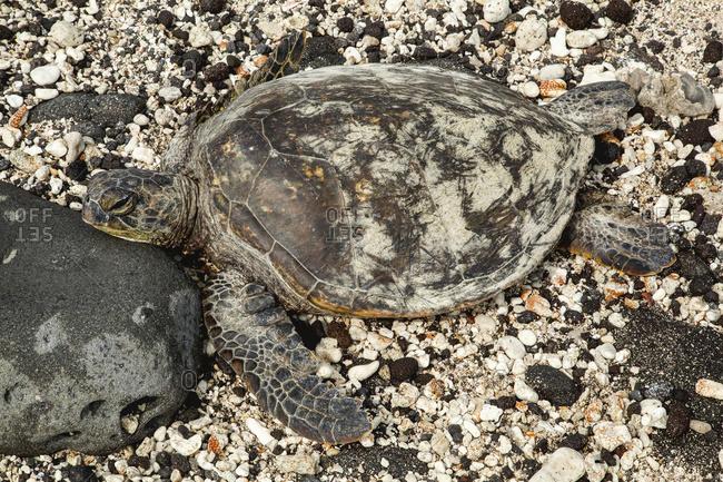 A sea turtle (Chelonioidea) rests on a rocky, shell covered beach on a hawaiian island; Kailua, Island of Hawaii, Hawaii, United States of America