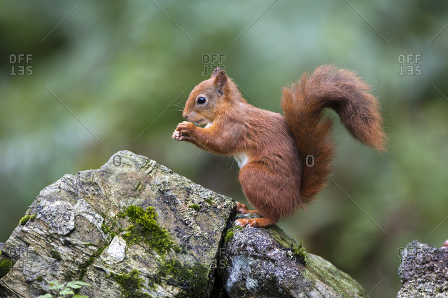 Red Squirrel (Sciurus vulgaris) eating from it's hands while standing on a moss covered rock; Dumfries and Galloway, Scotland