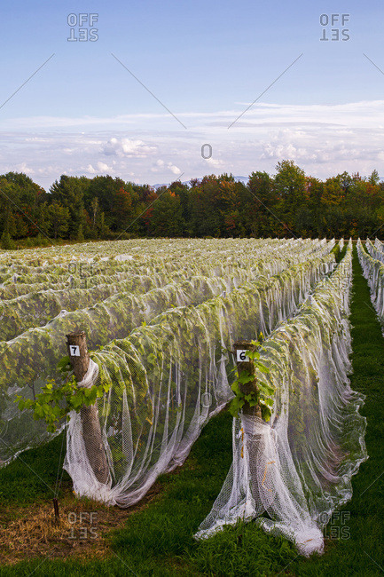 Vineyard with rows of Frontenac Gris grapes growing and draped in a protective cloth; Shefford, Quebec, Canada
