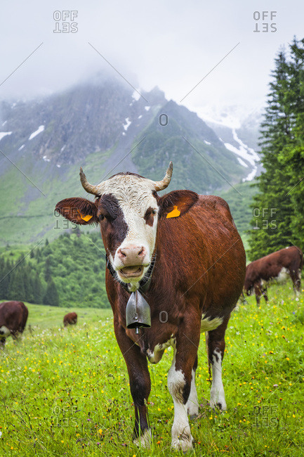 Cattle posing in a meadow of Val Montjoie with Aiguille de la Pennaz mountain  in the background; Alps, France