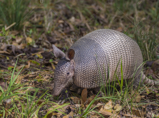 Nine-banded Armadillo (Dasypus novemcinctus) wandering among the brush in a transitional zone near a forest; Florida, United States of America
