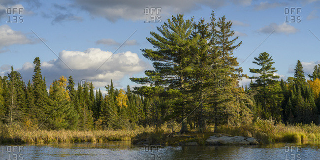 Coniferous trees and golden deciduous trees on the shore of Lake of the Woods; Lake of the Woods, Ontario, Canada