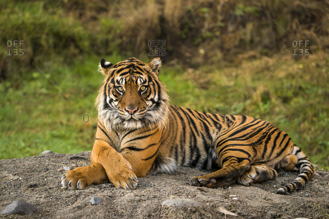 Sumatran Tiger (panthera tigris sumatrae) in captivity lying down and looking at the camera; Washington, United States of America