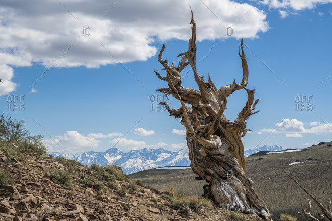 Bristlecone Pine, White Mountain; California, United States of America