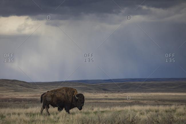 Bison (bison bison) walking in the prairies, Grasslands National Park; Saskatchewan, Canada