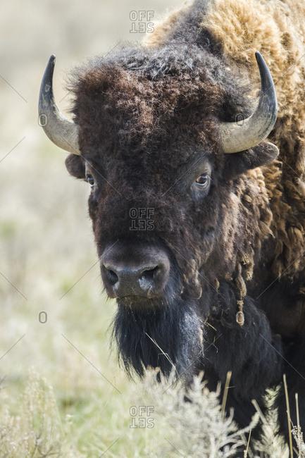 Close-up of a Bison (bison bison) looking at the camera, Grasslands National Park; Saskatchewan, Canada