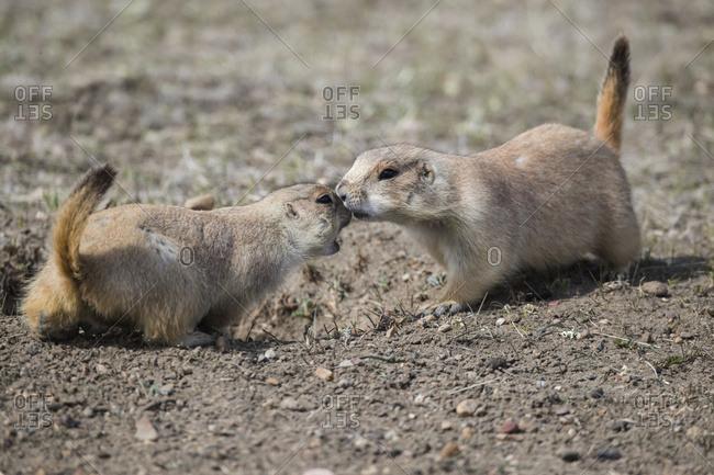 Black-Tailed Prairie Dogs (Cynomys ludovicianus), Grasslands National Park; Saskatchewan, Canada
