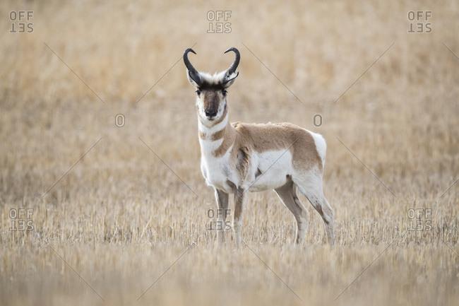 Pronghorn Antelope (Antilocapra americana) on the prairies, standing in a brown grass field looking at the camera; Saskatchewan, Canada