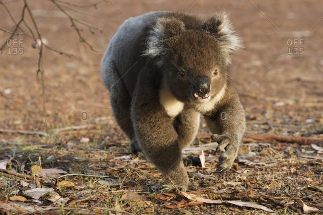 Koala (Phascolarctos cinereus) walking on the ground; Australia