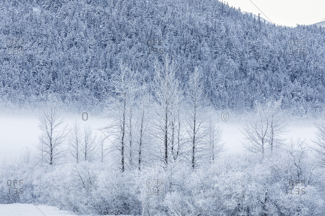 Hoar frost covers birch trees in a wintery landscape with a hillside of evergreen trees in the background, Seward Highway, South-central Alaska; Portage, Alaska, United States of America