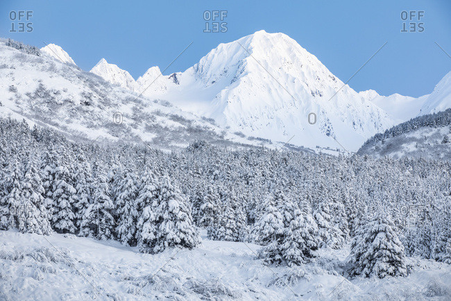 Black spruce trees covered in fresh snow blanketing the foreground with snow-covered rugged mountain peaks in the background, Turnagain Pass, South-central Alaska; Moose Pass, Alaska, United States of America