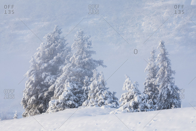A stand of spruce trees with a fresh dusting of snow, foggy mountainside in the distant background, Turnagain Arm, Kenai Peninsula, South-central Alaska; Alaska, United States of America