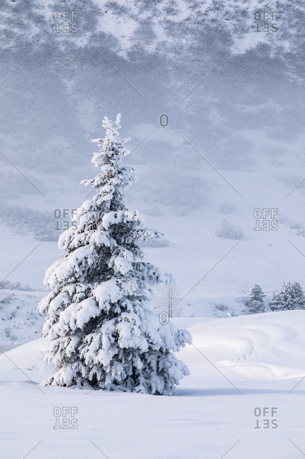 A single spruce tree covered in fresh snow stands in front of a mountainside blanketed in white snow, Turnagain Pass, Kenai Peninsula, South-central Alaska; Alaska, United States of America
