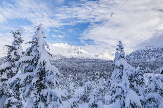 A forest blanketed in fresh snow with rugged mountains in the distance under a blue sky with cloud, Kenai Peninsula, South-central Alaska; Moose Pass, Alaska, United States of America